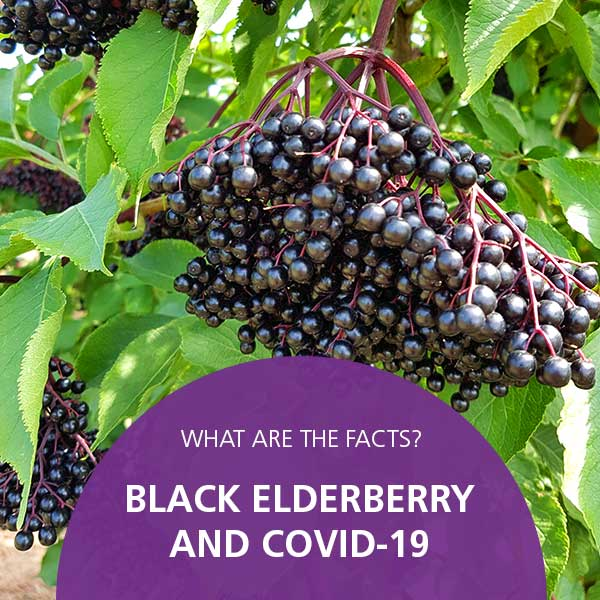 Black Elderberry Covid19 Facts